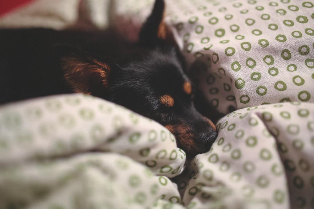 kaboompics.com_Sleeping little dog